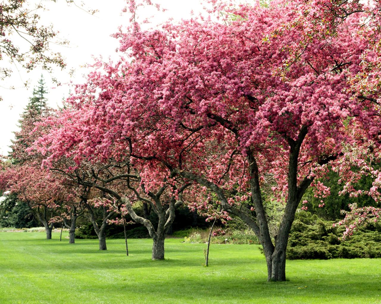 Flowering Trees Related Keywords - Flowering Trees Long ...